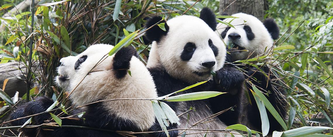 Panda_1140x470