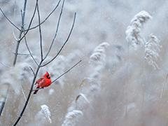 Cardinal_240x180